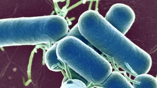 lactobacillus bacteria, sem - micrografia elettronica a scansione video stock e b–roll