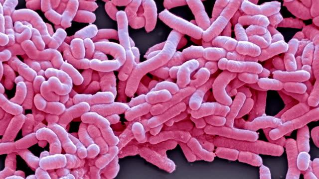 lactobacillus casei bacteria, sem - bacterium stock videos & royalty-free footage