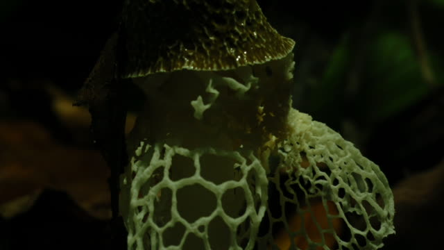 a lacy stinkhorn fungus releases a spore net. available in hd. - woodland stock videos & royalty-free footage