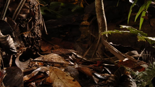 a lacy stinkhorn fungus rises from the forest floor and releases a spore net. available in hd. - fungus stock videos & royalty-free footage