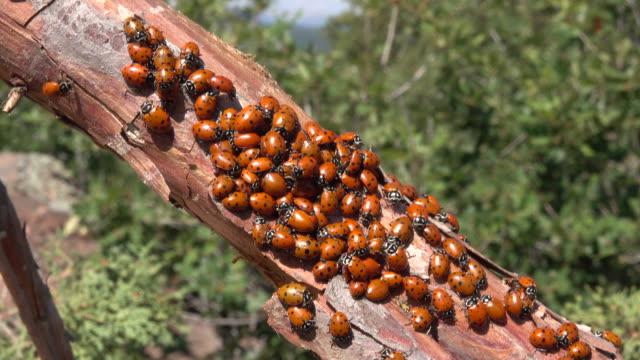 Lady bird ladybug beetle swarm juniper Littleton Colorado Rocky Mountain foothills