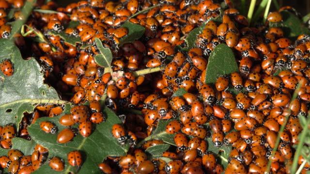 vídeos y material grabado en eventos de stock de enjambre de señora pájaro ladybug escarabajo friegue el roble colinas rocallosas de colorado littleton - mariquita