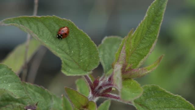 lady bug on plant leaf - 草食性点の映像素材/bロール