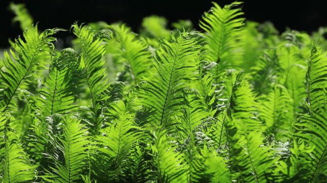 lady fern swaying in the wind - fern stock videos & royalty-free footage