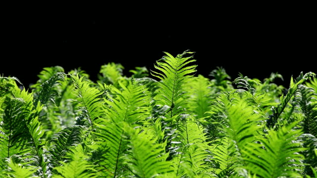 lady fern swaying in the wind (loopable) - fern stock videos & royalty-free footage