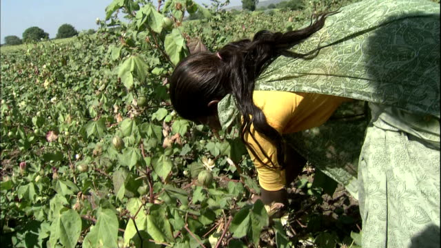lady harvests cotton buds, india - cotton bud stock videos & royalty-free footage