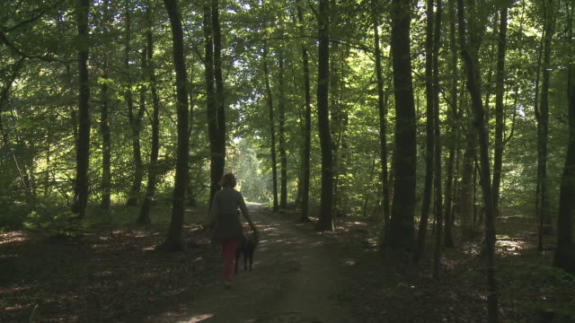 vidéos et rushes de ms lady walking with dog through beech trees forest (de soignes) / brussels, belgium - bois