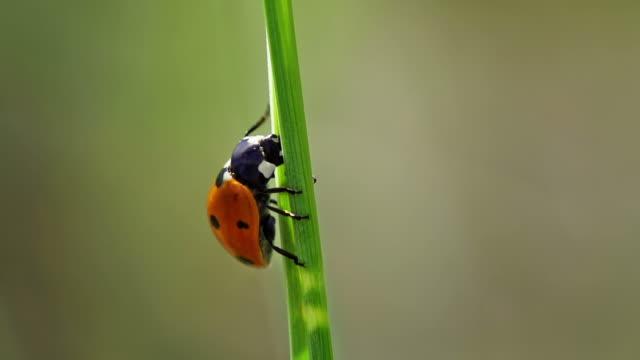vídeos y material grabado en eventos de stock de cámara lenta: ladybeetle - mariquita