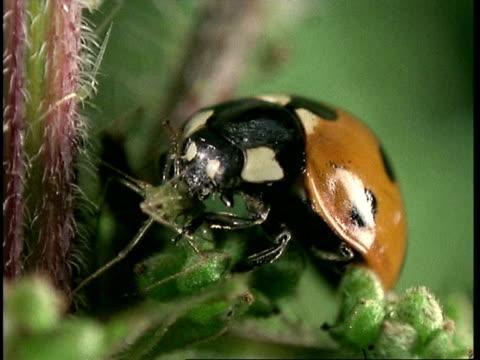 vídeos y material grabado en eventos de stock de cu ladybird beetle eats aphid on leaf, united kingdom - mariquita