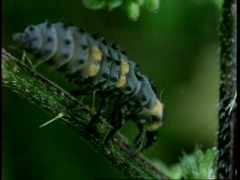 vidéos et rushes de cu ladybird beetle larvae crawls over nettle, united kingdom - tige d'une plante