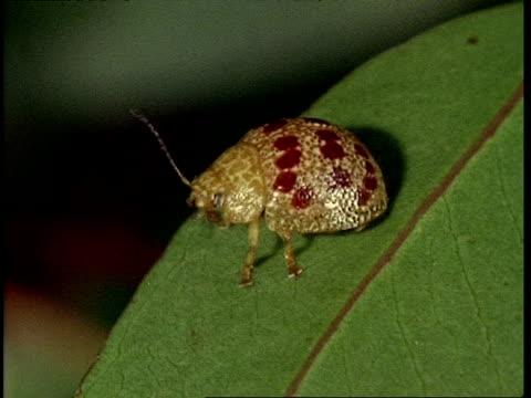 cu ladybird beetle on leaf, flies off - 動物の色点の映像素材/bロール
