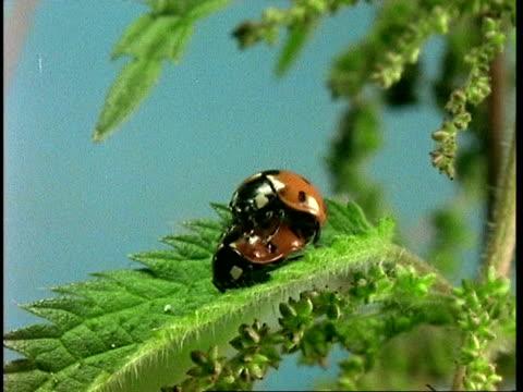 vídeos y material grabado en eventos de stock de ms ladybird beetles, coccinella septempunctata, mating on leaf, united kingdom - mariquita