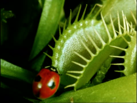 vídeos de stock, filmes e b-roll de ladybird captured by venus fly trap, uk - carnivorous plant