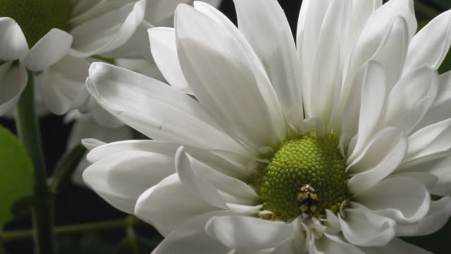 cu, ladybird (propylea quatuordecimpunctata) crawling over daisy flower - daisy stock videos and b-roll footage