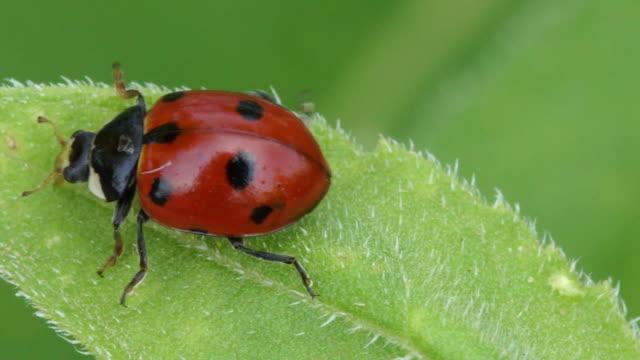 vídeos y material grabado en eventos de stock de ladybird on leaf slow mo - mariquita