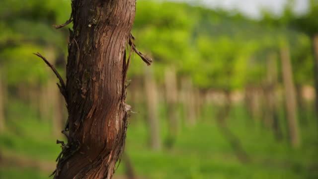 vídeos y material grabado en eventos de stock de a ladybud on the truck of an old vine. from top to bottom. - grape leaf