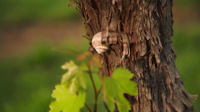 vídeos de stock e filmes b-roll de a ladybud resting on a vine's truck. - snail