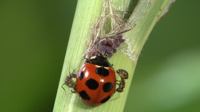 A Ladybug Attacked By Ants
