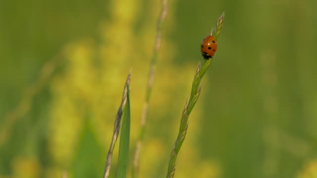 cu ladybug beetle on blade of grass in trinity river meadow, blowing in wind, dallas, texas - blade of grass stock videos & royalty-free footage