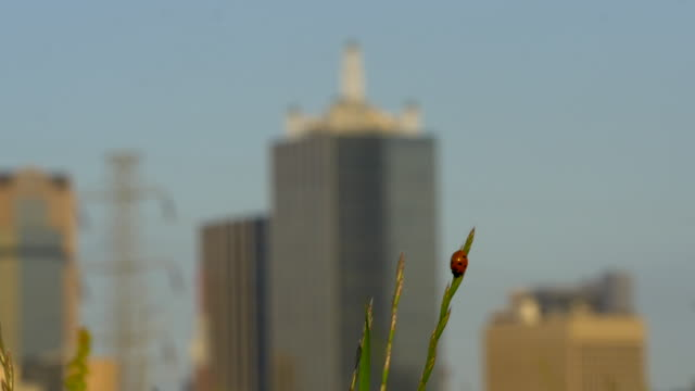 CU Ladybug beetle on blade of grass in Trinity River meadow, blowing in the wind, downtown Dallas, Texas buildings in background