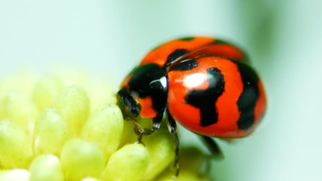 vídeos de stock e filmes b-roll de ladybug close-up - inseto