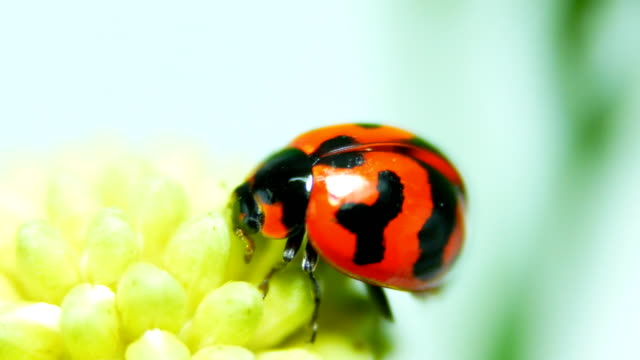 ladybug close-up - beauty in nature stock videos & royalty-free footage