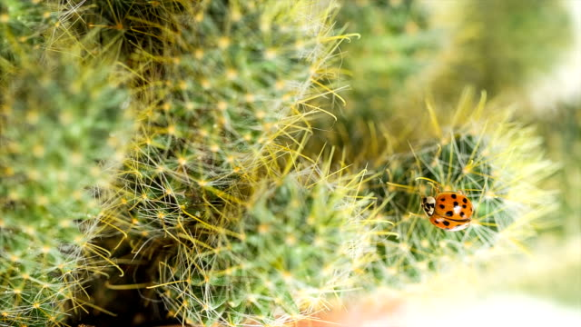 Ladybug creeps on the cactus.