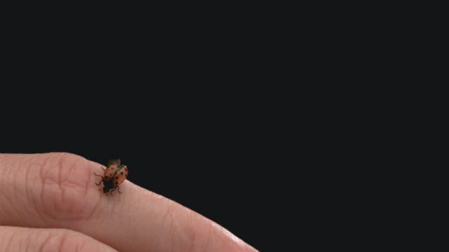 vídeos y material grabado en eventos de stock de ecu slo mo ladybug flying from woman's hand / san francisco, california, usa - mariquita