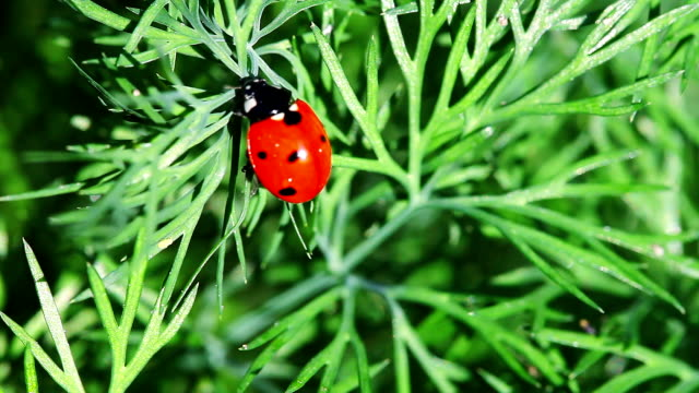 vídeos y material grabado en eventos de stock de ladybug busca para pulgones - mariquita