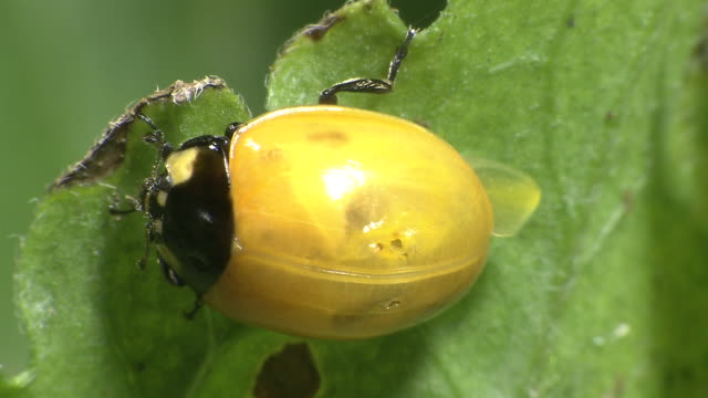 A Ladybug Immediately After The Eclosion