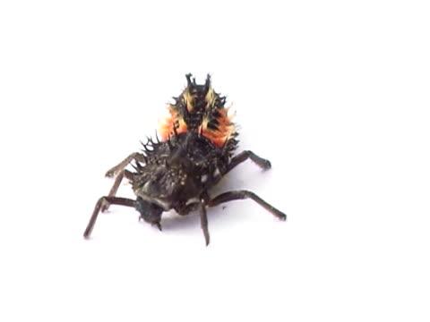 Ladybug larva PAL