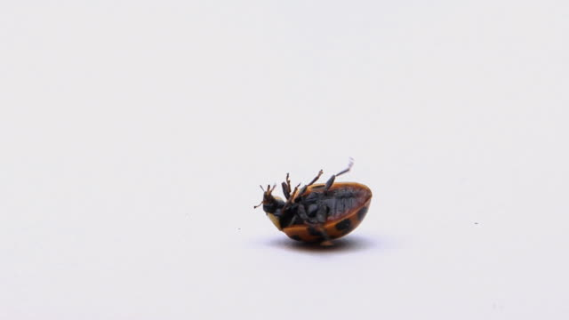 WS, Ladybug (Coccinella septempunctata) on back wiggles legs