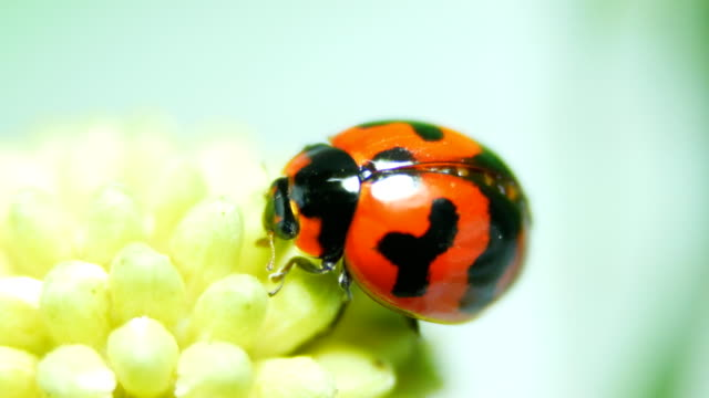 ladybug on flower - macro stock videos and b-roll footage