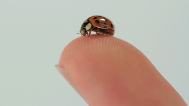 cu slo mo ladybug on human finger / new york city, new york, usa. - human finger stock videos and b-roll footage