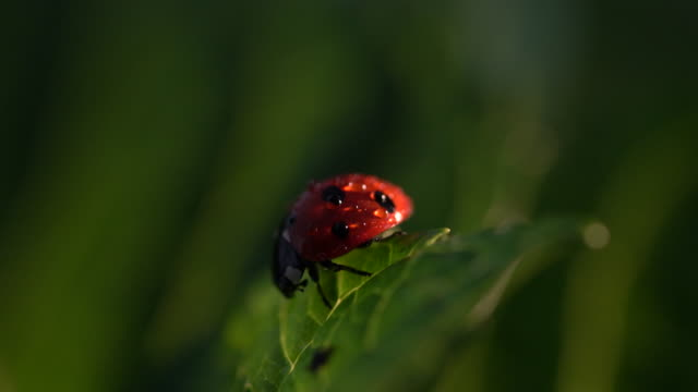 ladybug on leaf - extreme close up stock videos & royalty-free footage