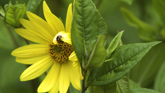 vídeos de stock e filmes b-roll de ladybug on yellow flower - estame