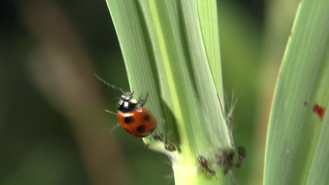 A Ladybug Running Away From Ants