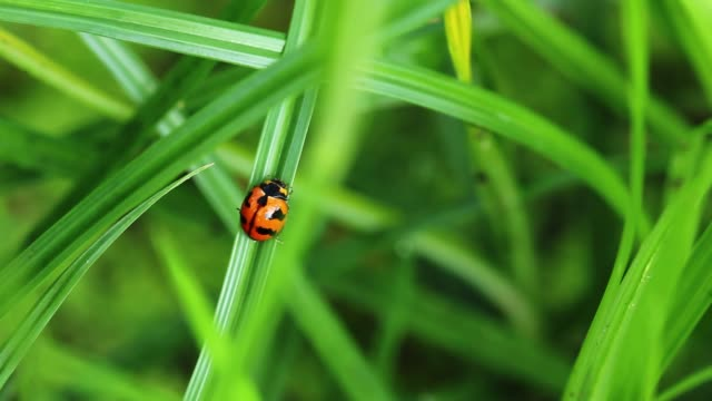 vídeos y material grabado en eventos de stock de mariquita silenciosa en hierba verde en la naturaleza. - mariquita