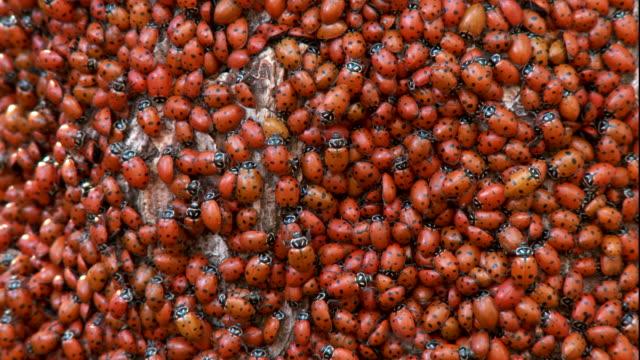 vídeos y material grabado en eventos de stock de cu ladybug swarm on a branch - mariquita