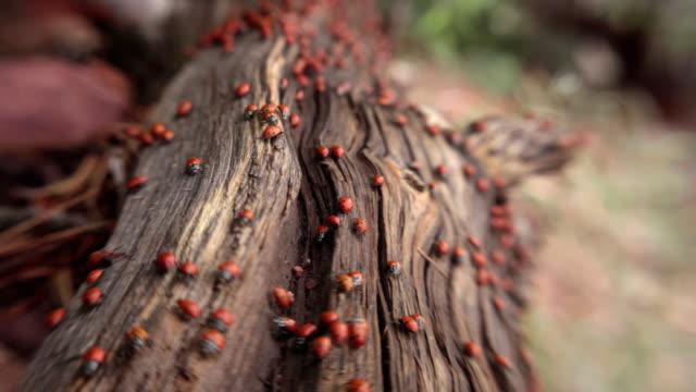 vídeos y material grabado en eventos de stock de ladybug swarm on log, tilt shift - mariquita