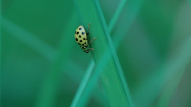 ladybug travelling along blades of grass - blade of grass stock videos & royalty-free footage