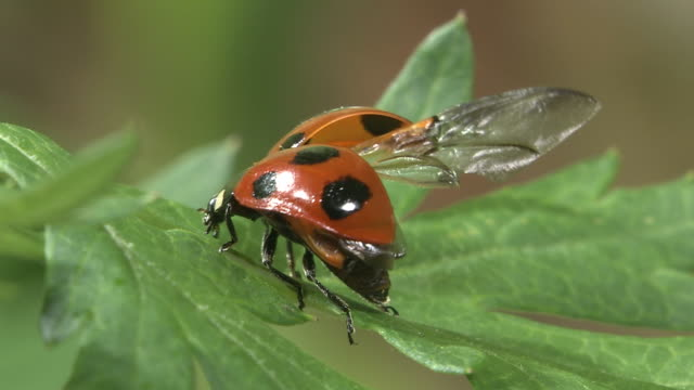 ladybug trying its wings out - animal wing stock videos & royalty-free footage
