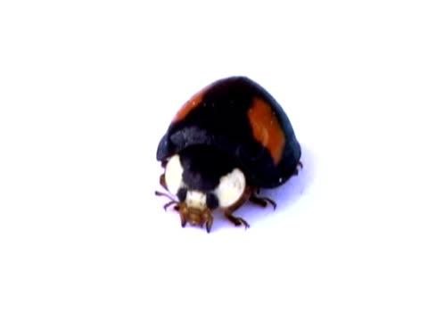 ntsc: coccinella - insetto video stock e b–roll