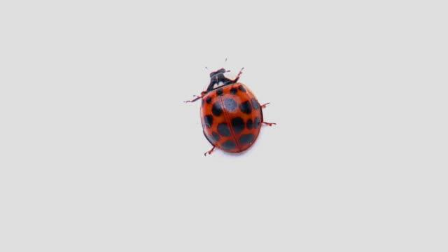 vídeos y material grabado en eventos de stock de ms, tu, ladybug (coccinella septempunctata) walking on white background - mariquita