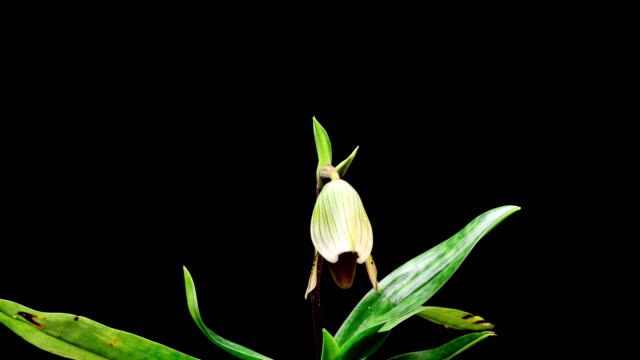 lady's slipper orchid opening, timelapse - endangered species stock videos & royalty-free footage