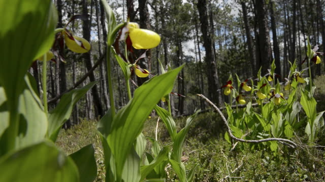 lady's slipper orchid - orchid stock videos & royalty-free footage