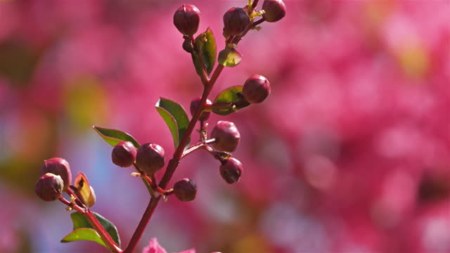lagerstroemia indica, also known as crape myrtle, crepe myrtle, crepeflower. - crepe myrtle tree stock videos and b-roll footage