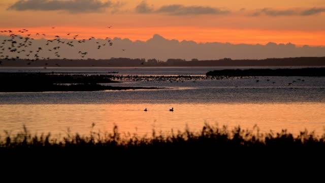 lagoon area (bodden) at sunrise with ducks swarm, bresewitz, zingst, fischland-darß-zingst, baltic sea, mecklenburg-vorpommern, germany - vogel stock-videos und b-roll-filmmaterial