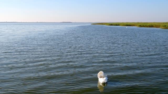 Lagoon area (Bodden) with mute swan, Born am Darß, Fischland-Darß-Zingst, Baltic sea, Mecklenburg-Vorpommern, Germany