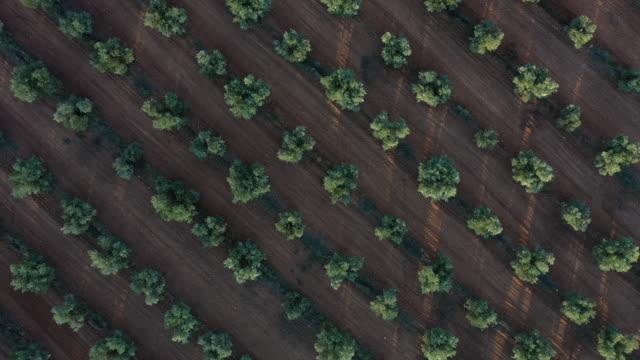 olive tree plantation (olea europaea), lagoon of el taray, quero, toledo, castilla-la mancha, spain, europe - オリーブ点の映像素材/bロール